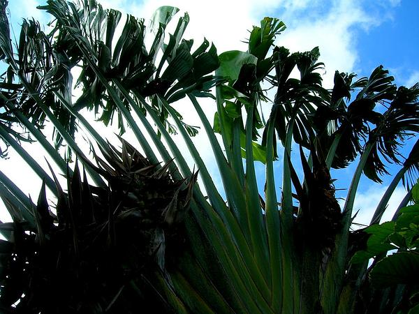 Traveler's Tree (Ravenala Madagascariensis) https://www.sagebud.com/travelers-tree-ravenala-madagascariensis/