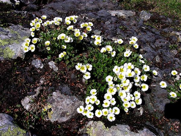 Buttercup (Ranunculus) https://www.sagebud.com/buttercup-ranunculus