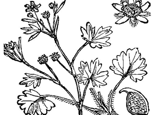 Smallflower Buttercup (Ranunculus Parviflorus) https://www.sagebud.com/smallflower-buttercup-ranunculus-parviflorus/