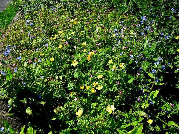 Creeping Buttercup (Ranunculus Repens) https://www.sagebud.com/creeping-buttercup-ranunculus-repens