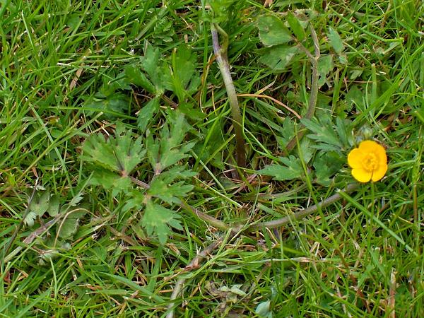 Creeping Buttercup (Ranunculus Repens) https://www.sagebud.com/creeping-buttercup-ranunculus-repens