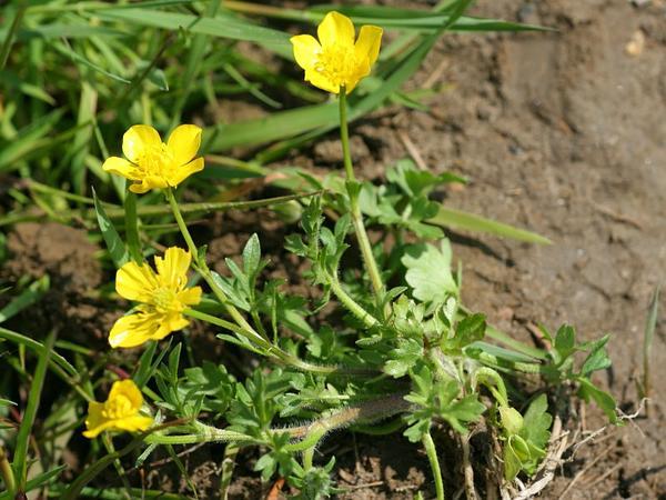 Hairy Buttercup (Ranunculus Sardous) https://www.sagebud.com/hairy-buttercup-ranunculus-sardous