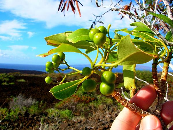 Devil's-Pepper (Rauvolfia Sandwicensis) https://www.sagebud.com/devils-pepper-rauvolfia-sandwicensis
