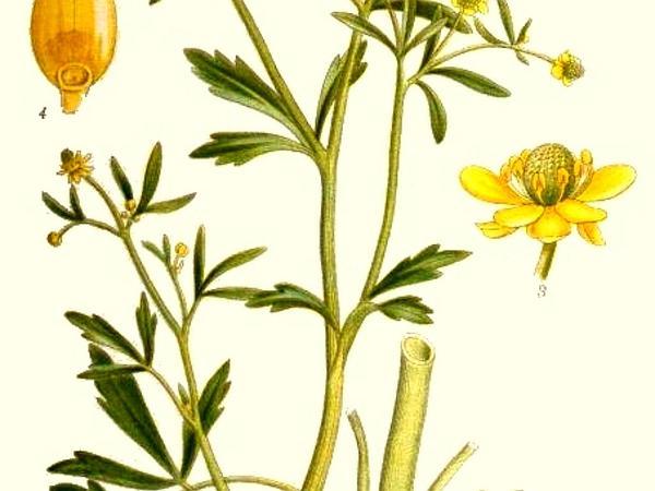 Cursed Buttercup (Ranunculus Sceleratus) https://www.sagebud.com/cursed-buttercup-ranunculus-sceleratus