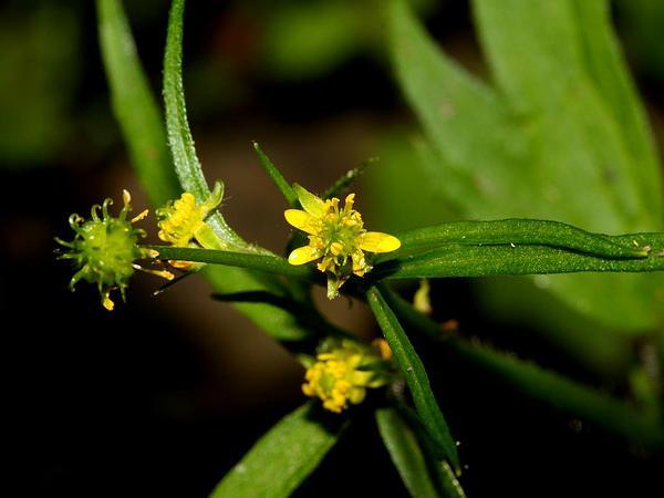 Woodland Buttercup (Ranunculus Uncinatus) https://www.sagebud.com/woodland-buttercup-ranunculus-uncinatus