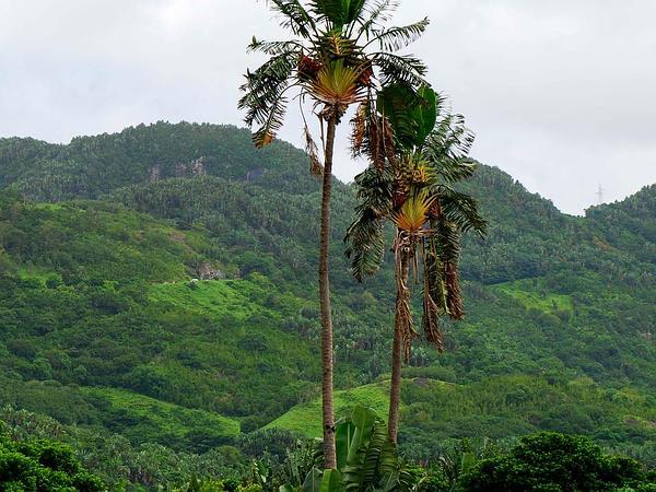 Traveler's Tree (Ravenala) https://www.sagebud.com/travelers-tree-ravenala