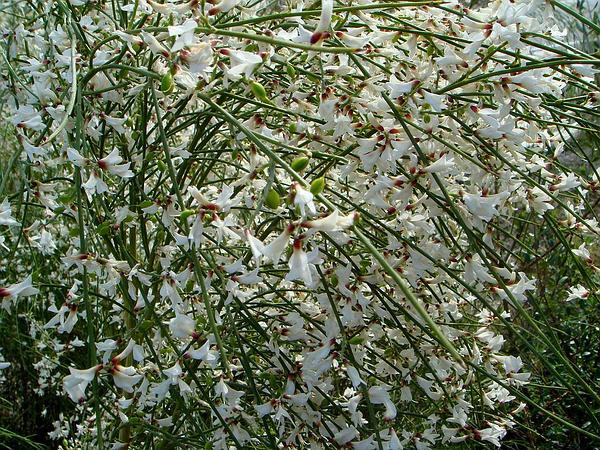 Bridal Broom (Retama Monosperma) https://www.sagebud.com/bridal-broom-retama-monosperma/