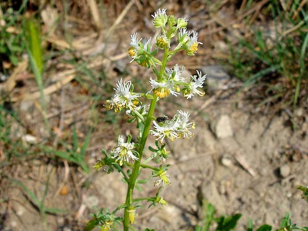 Rampion Mignonette (Reseda Phyteuma) https://www.sagebud.com/rampion-mignonette-reseda-phyteuma