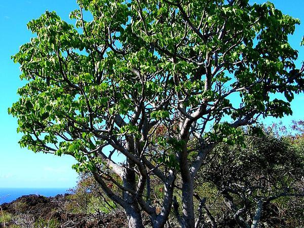 'Ohe Makai (Reynoldsia Sandwicensis) https://www.sagebud.com/ohe-makai-reynoldsia-sandwicensis