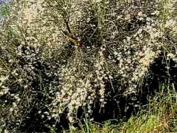 Bridal Broom (Retama) https://www.sagebud.com/bridal-broom-retama/