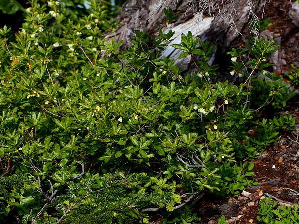 Cascade Azalea (Rhododendron Albiflorum) https://www.sagebud.com/cascade-azalea-rhododendron-albiflorum/