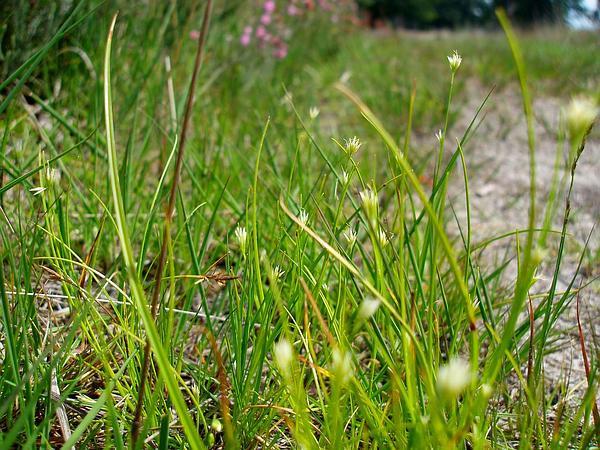 White Beaksedge (Rhynchospora Alba) https://www.sagebud.com/white-beaksedge-rhynchospora-alba