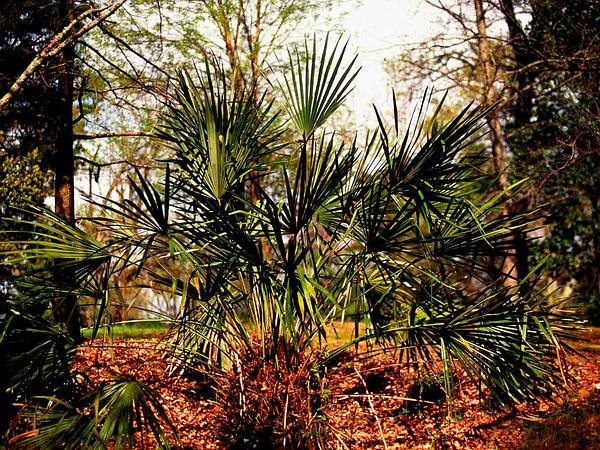 Rhapidophyllum (Rhapidophyllum) https://www.sagebud.com/rhapidophyllum-rhapidophyllum