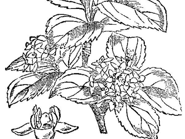 Common Buckthorn (Rhamnus Cathartica) https://www.sagebud.com/common-buckthorn-rhamnus-cathartica