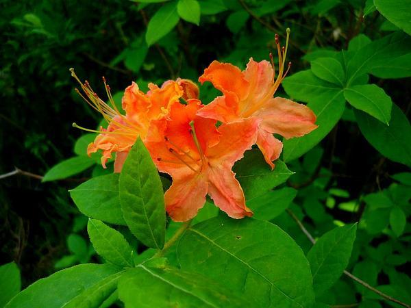 Flame Azalea (Rhododendron Calendulaceum) https://www.sagebud.com/flame-azalea-rhododendron-calendulaceum