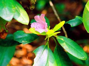 Catawba Rosebay