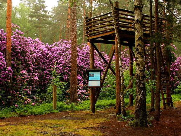 Catawba Rosebay (Rhododendron Catawbiense) https://www.sagebud.com/catawba-rosebay-rhododendron-catawbiense/