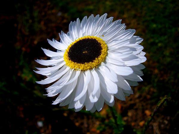 Rosy Sunray (Rhodanthe Chlorocephala) https://www.sagebud.com/rosy-sunray-rhodanthe-chlorocephala