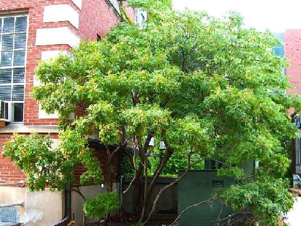 Winged Sumac (Rhus Copallinum) https://www.sagebud.com/winged-sumac-rhus-copallinum