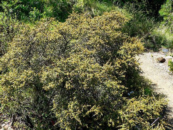 Redberry Buckthorn (Rhamnus Crocea) https://www.sagebud.com/redberry-buckthorn-rhamnus-crocea