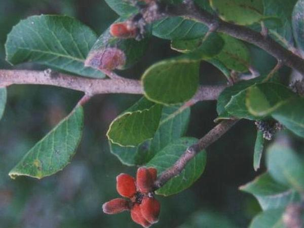 Lemonade Sumac (Rhus Integrifolia) https://www.sagebud.com/lemonade-sumac-rhus-integrifolia/