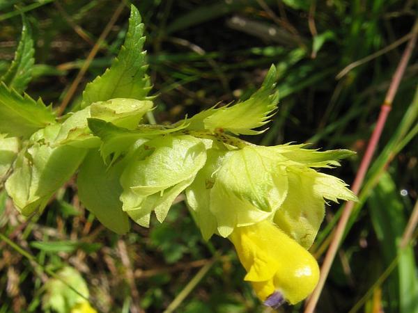 Yellow Rattle (Rhinanthus) https://www.sagebud.com/yellow-rattle-rhinanthus