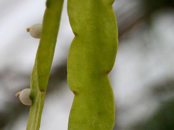 Rhipsalis (Rhipsalis) https://www.sagebud.com/rhipsalis-rhipsalis