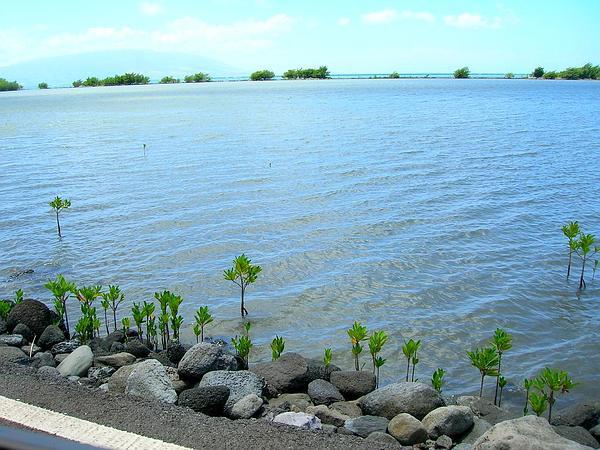 Mangrove (Rhizophora) https://www.sagebud.com/mangrove-rhizophora