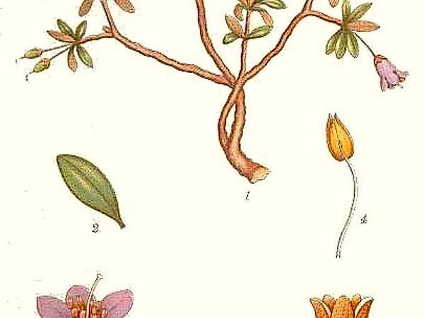 Lapland Rosebay (Rhododendron Lapponicum) https://www.sagebud.com/lapland-rosebay-rhododendron-lapponicum