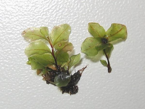 Grandleaf Rhizomnium Moss (Rhizomnium Magnifolium) https://www.sagebud.com/grandleaf-rhizomnium-moss-rhizomnium-magnifolium
