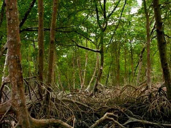 Red Mangrove (Rhizophora Mangle) https://www.sagebud.com/red-mangrove-rhizophora-mangle
