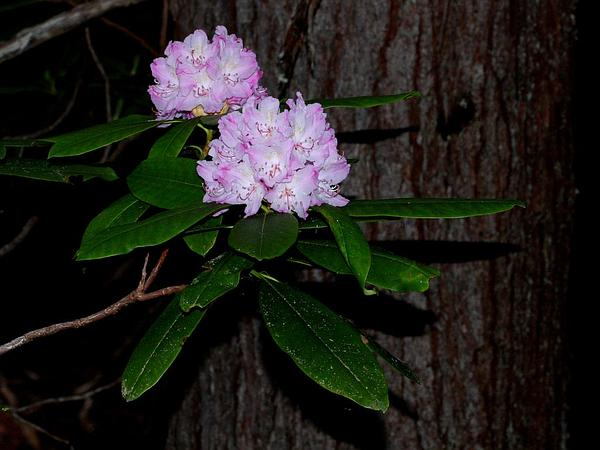 Pacific Rhododendron (Rhododendron Macrophyllum) https://www.sagebud.com/pacific-rhododendron-rhododendron-macrophyllum