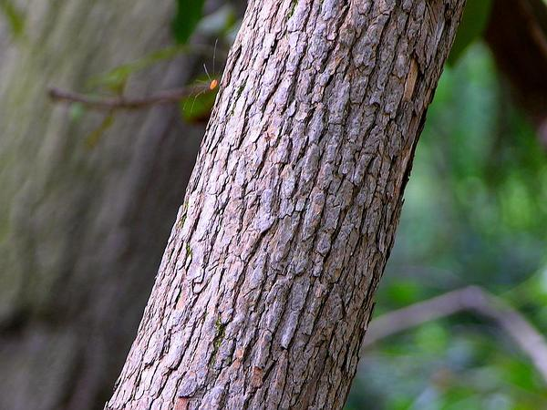 Great Laurel (Rhododendron Maximum) https://www.sagebud.com/great-laurel-rhododendron-maximum/