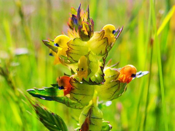 Little Yellow Rattle (Rhinanthus Minor) https://www.sagebud.com/little-yellow-rattle-rhinanthus-minor