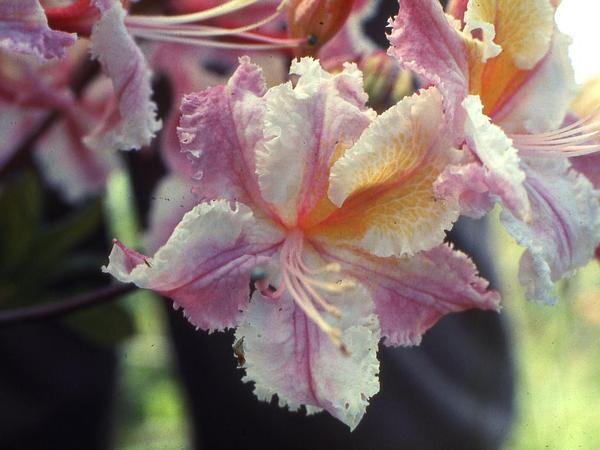 Western Azalea (Rhododendron Occidentale) https://www.sagebud.com/western-azalea-rhododendron-occidentale