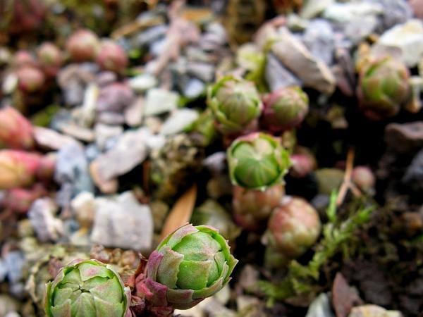Stonecrop (Rhodiola) https://www.sagebud.com/stonecrop-rhodiola