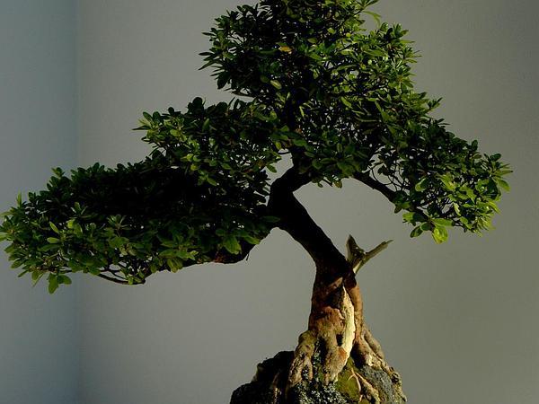 Rhododendron (Rhododendron) https://www.sagebud.com/rhododendron-rhododendron