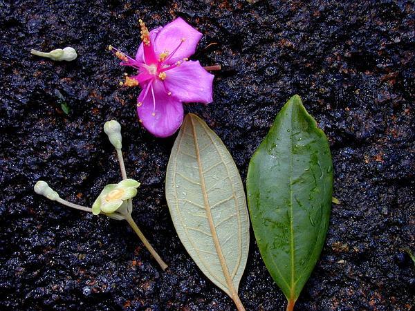 Rhodomyrtus (Rhodomyrtus) https://www.sagebud.com/rhodomyrtus-rhodomyrtus/