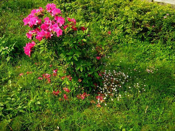 Pink Azalea (Rhododendron Periclymenoides) https://www.sagebud.com/pink-azalea-rhododendron-periclymenoides