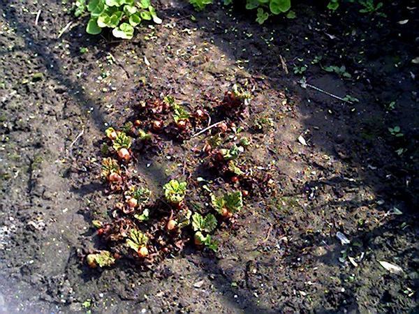 Garden Rhubarb (Rheum Rhabarbarum) https://www.sagebud.com/garden-rhubarb-rheum-rhabarbarum