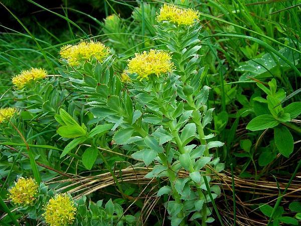 Roseroot Stonecrop (Rhodiola Rosea) https://www.sagebud.com/roseroot-stonecrop-rhodiola-rosea