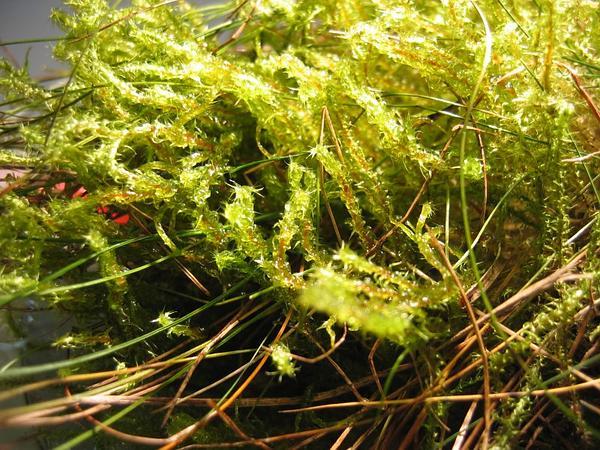 Square Goose Neck Moss (Rhytidiadelphus Squarrosus) https://www.sagebud.com/square-goose-neck-moss-rhytidiadelphus-squarrosus