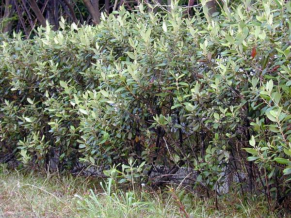 Rose Myrtle (Rhodomyrtus Tomentosa) https://www.sagebud.com/rose-myrtle-rhodomyrtus-tomentosa