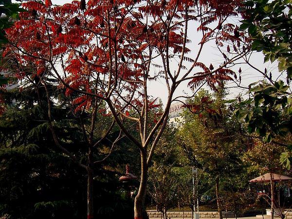 Staghorn Sumac (Rhus Typhina) https://www.sagebud.com/staghorn-sumac-rhus-typhina/