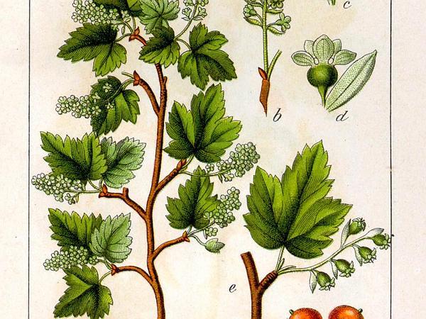 Alpine Currant (Ribes Alpinum) https://www.sagebud.com/alpine-currant-ribes-alpinum