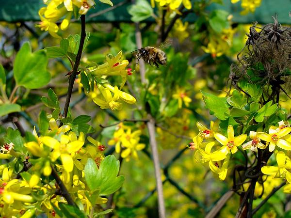Golden Currant (Ribes Aureum) https://www.sagebud.com/golden-currant-ribes-aureum