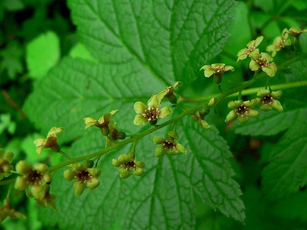 Stink Currant (Ribes Bracteosum) https://www.sagebud.com/stink-currant-ribes-bracteosum