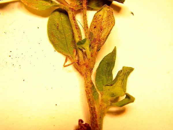 Tropical Mexican Clover (Richardia Brasiliensis) https://www.sagebud.com/tropical-mexican-clover-richardia-brasiliensis