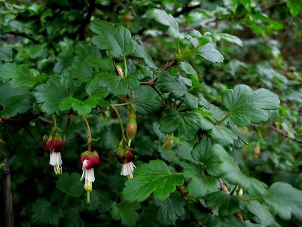 Hillside Gooseberry (Ribes Californicum) https://www.sagebud.com/hillside-gooseberry-ribes-californicum
