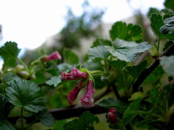 Wax Currant (Ribes Cereum) https://www.sagebud.com/wax-currant-ribes-cereum
